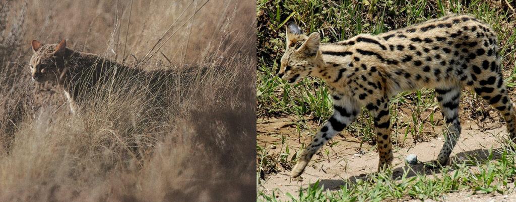 serval_wildcat-1024x402