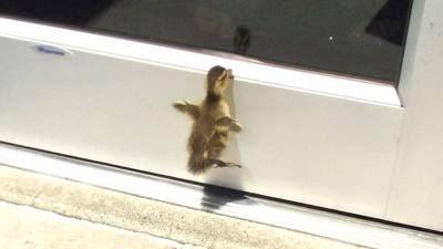 یک جوجه اردک برای نجات خواهر و برادرانش از کارمندان کتابخانه کمک گرفت